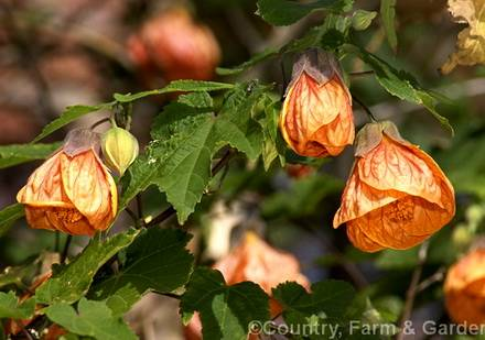 AbutilonOrangeKing