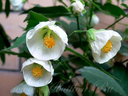 AbutilonWhiteKing
