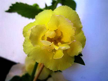 AchimenesYellowEnglishRose9