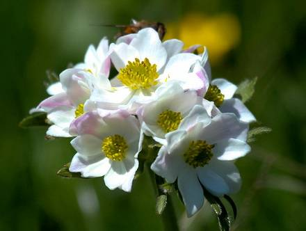 AnemoneNarcissiflora