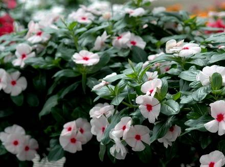 Catharanthus10