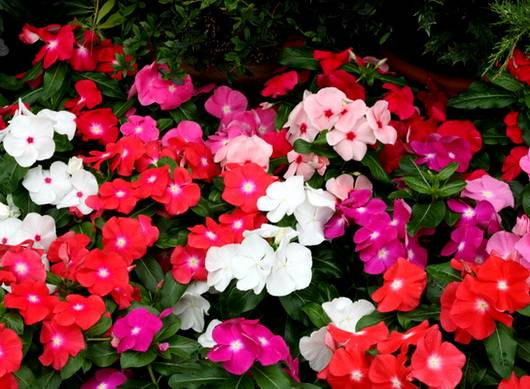 Catharanthus15