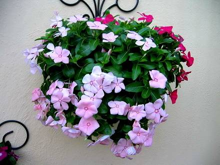 Catharanthus2