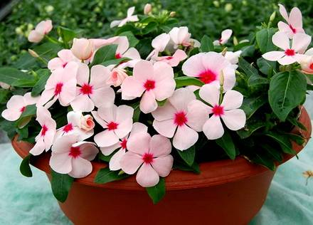 Catharanthus3