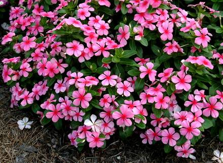Catharanthus6