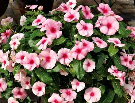 Catharanthus8