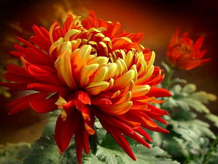 Chrysanthemum12