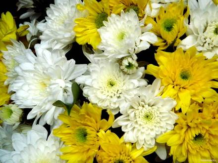 Chrysanthemum13