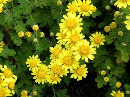 ChrysanthemumIindicum