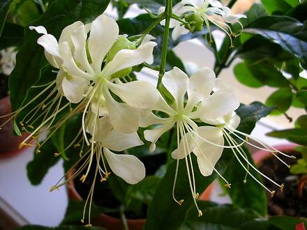 Clerodendrum1