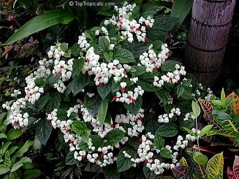 Clerodendrum2