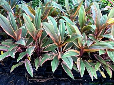 CordylineEarlyMorningDiamond
