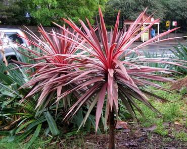 CordylineElectricPink