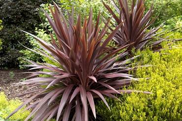 CordylineRedSensation