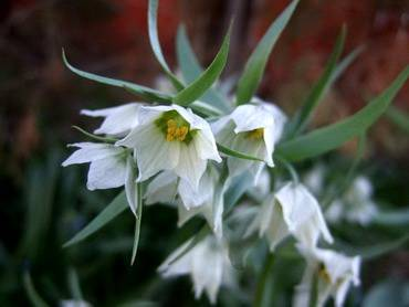 FritillariaBucharica