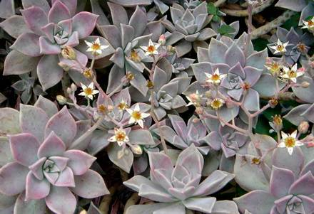 Graptopetalum2