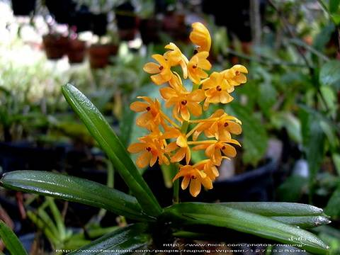 Orchid-gibrid2