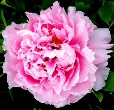 PaeoniaDoublePink