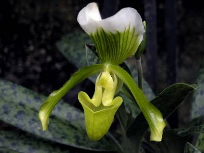 Phragmipedium3