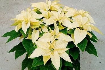 PoinsettiaWhiteStar