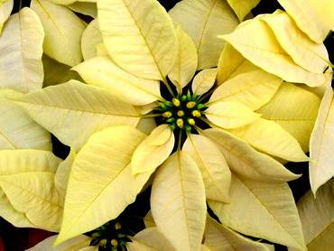 PoinsettiaYellow Bract