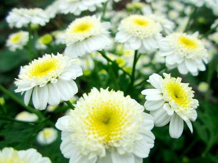 Pyrethrum2