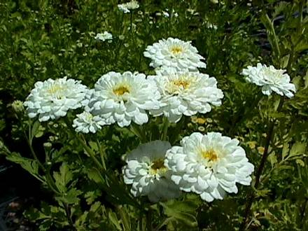 Pyrethrum6