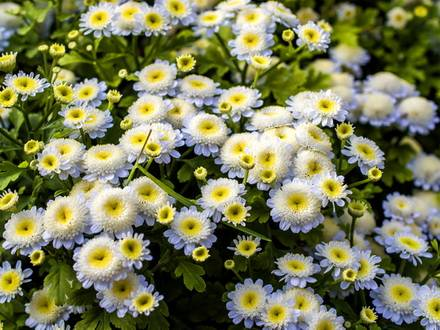 Pyrethrum7