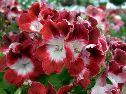 RegalPelargoniums9