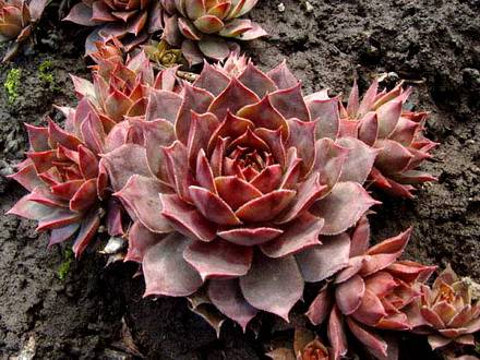 Sempervivum1