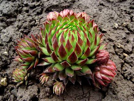 Sempervivum6