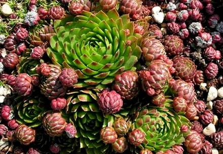 Sempervivum7