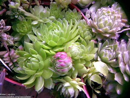 SempervivumSoboliferum