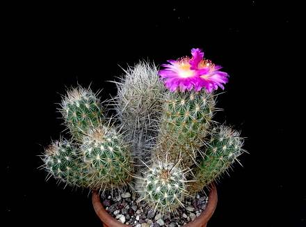 ThelocactusHastifer