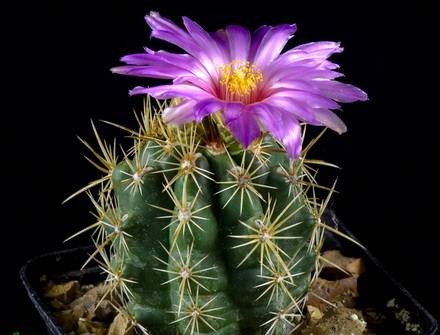 ThelocactusLeucacanthus