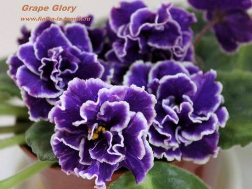grape-glory2