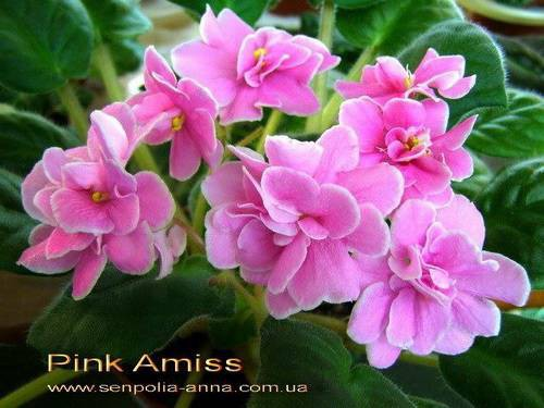 pink-amiss4