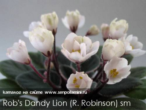 robs-dandy-lion3